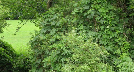 Wilder Hopfen im Bereich Katzenwald
