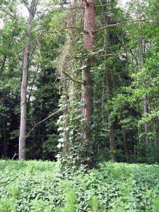 Wilder Hopfen im Katzenwald