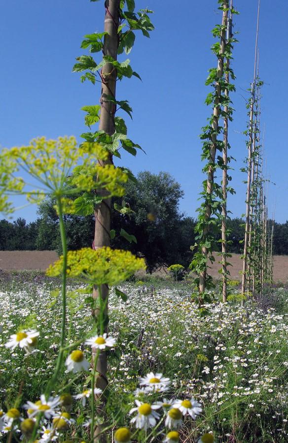 Im Mühlacker Ortsteil: Wildblumen im Hopfenschaugarten