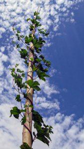 Im Jahresrückblick: Wildhopfen windet sich an Bambusstangen