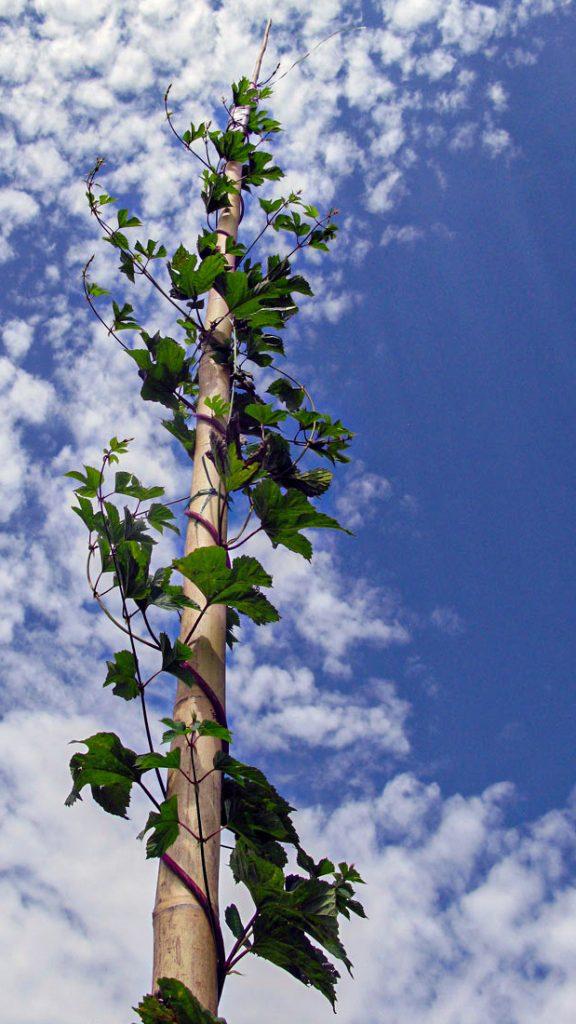 Wildhopfen windet sich an Bambusstangen