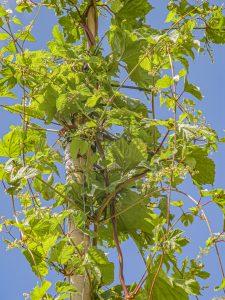 Die Hopfenblüten im Schaugarten sind gefährdet